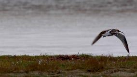 Zarapito, Numenius, volando, caminando y picoteando en el banco durante un día ventoso nublado en otoño, Escocia de la hierba del almacen de video