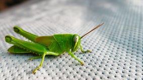 Zaraza pasikonika szarańczy insekt obraz stock
