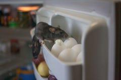 Zaraza szczura poj?cie szczury s? szarzy w fridge dla kurczaka zdjęcia stock