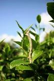Zaraza w herbacianym ogródzie Fotografia Stock