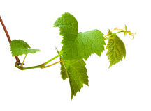 zarazka winogrona zieleń Zdjęcie Royalty Free
