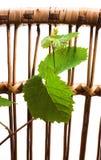 zarazka winogrona zieleń Fotografia Stock