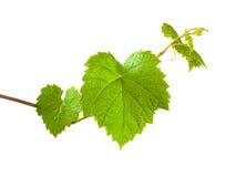 zarazka winogrona zieleń Obrazy Royalty Free