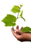 zarazka winogrona zieleni ręka Zdjęcie Royalty Free