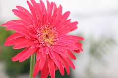 Zarbera цветет Guwahati Асом Индия Стоковое Фото