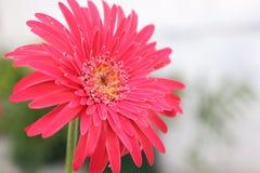 Zarbera blommar Guwahati Assam Indien Arkivfoto