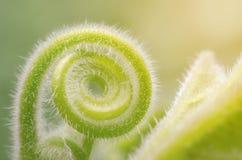 Zarcillo de la planta que sube verde que crece en una forma espiral Imágenes de archivo libres de regalías