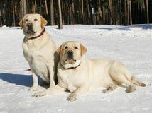Zarodowi psy zdjęcie royalty free