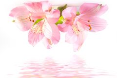 Zarte Blumen Lizenzfreie Stockfotografie