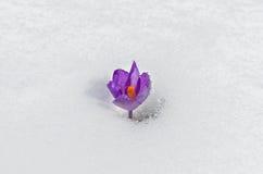 Zarte Frühlingsblume lokalisiert auf weißem Hintergrund Stockfoto