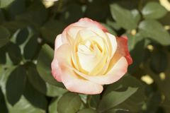 Zarte rosa Blume einer Rose stockbild