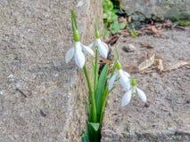 Zarte Schneeglöckchen machten ihre Weise durch den Beton in Richtung zum Frühling lizenzfreie stockfotografie
