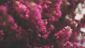 Zarte Winterheide Gesamtlängen-Heidekrauts in der vollen Blüte stock video