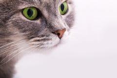 Zarter Blick einer grauen Katze mit grünen Augen Stockfotografie