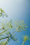 Zarter Dill auf einem Hintergrund des blauen Himmels Stockfoto