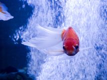 Zarter Goldfisch, der in Aquarium in Kiew schwimmt stockfotos