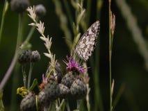 Zarter Schmetterling auf einer Frühlingsblume lizenzfreies stockfoto