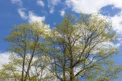 Zartes Frühlingslaub Stockbild