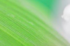Zartes grünes Blatt und weiße Blume Maiglöckchen Abstraktion Stockfoto