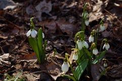 Zartes Schneeglöckchenblumenwachsen unter altem braunem Herbstlaub Lizenzfreie Stockfotos