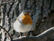Zaryanka Robin migratory bird royalty free stock photo