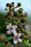 Zarza (fruticosus del Rubus) fotografía de archivo