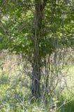 Zarza que crece abajo de un árbol foto de archivo