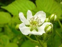 Zarzamora floreciente de la flor imágenes de archivo libres de regalías