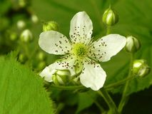 Zarzamora floreciente de la flor foto de archivo libre de regalías