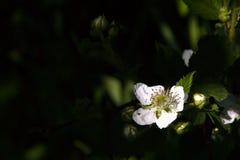 Zarzamora floreciente en un jardín de la primavera Fotografía de archivo