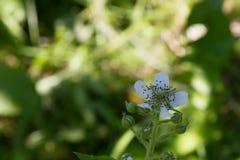 Zarzamora floreciente en un jardín de la primavera Foto de archivo libre de regalías