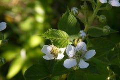Zarzamora floreciente en un jardín de la primavera Fotos de archivo libres de regalías