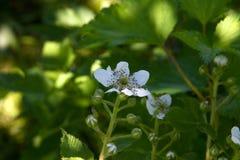 Zarzamora floreciente en un jardín de la primavera Imágenes de archivo libres de regalías