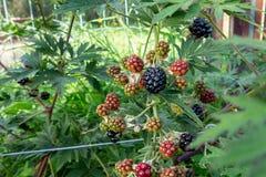 Zarzamoras de maduración en un arbusto en el jardín - foto, imagen fotografía de archivo libre de regalías