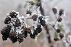 Zarzamoras del hielo en el bosque foto de archivo libre de regalías
