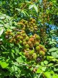 Zarzamoras maduras e inmaduras en el arbusto con el foco selectivo Manojo de bayas salvajes fotos de archivo