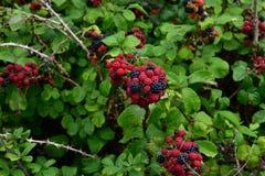 Zarzamoras maduras - un Hacienda de la salud del bosque Foto de archivo libre de regalías