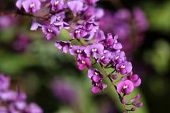 Zarzaparrilla falsa - guisante coralino púrpura - violacea del Hardenbergia Fotografía de archivo