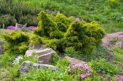 Zasadza? iglastych krzaki i ornamentacyjnych kwiat?w kamienie w ogr?dzie blisko zdjęcia royalty free