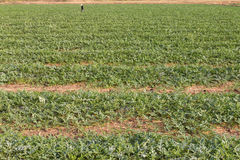 Zasadzać zielonego melon Obraz Stock