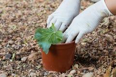 Zasadzać drzewa w garnku Zdjęcie Royalty Free