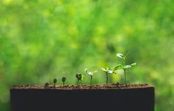 Zasadza Kawowe rozsady w natury zakończeniu Świeża Zielona roślina Zdjęcie Royalty Free
