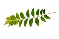 Zasadza liść odizolowywającego na białym tle (gwiazdowy agrestowy liść) Fotografia Royalty Free