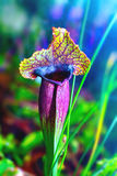 Zasadza mięsożernego kwiatu sarracenia exornatap Obrazy Stock