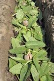Zasadzać nasieniodajne grule Zdjęcia Royalty Free
