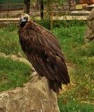 Zasadza orła w klatce, i ono gryźć swój bary, jakkolwiek - czy są żelazni lub złociści Fotografia Stock