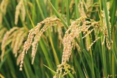 zasadza ryż Zdjęcie Stock
