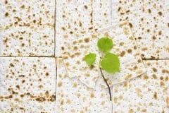 Zasięrzutna fotografia kawałki i małej wiosny świeża lipowa gałąź matzah lub matza Matzah na drewnianym stole dla Żydowskiego zdjęcie royalty free