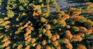 Zasięrzutny powietrzny odgórny widok nad pomarańczowymi i czerwonymi modrzewiowego drzewa lasowymi drewnami w pogodnej jesieni Eu zdjęcie wideo