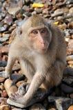 zaskakująca makak małpa Obrazy Royalty Free